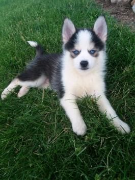 Pomsky Puppies For Sale Lancaster Puppies Pomsky Puppies Puppies For Sale Lancaster Puppies
