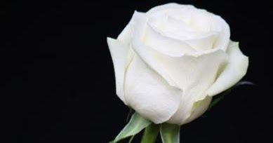 Menakjubkan 22 Bunga Mawar Putih Indah Wallpaper Mawar Wallpaper Bunga Mawar Putih Hd Arti Bunga Mawar Berdasarkan Warnanya Di 2020 Bunga Mawar Ungu Wallpaper Bunga