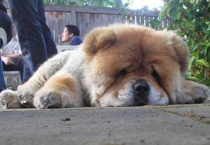 10 Most Dangerous Dog Breeds The Chow Chow Does Have An Aggressive