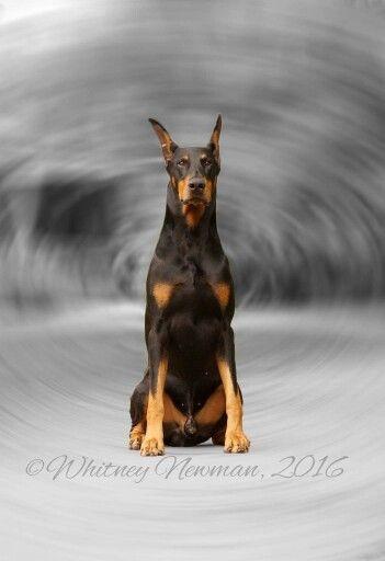 My World Revolves Around Doberman Doberman Dogs Doberman