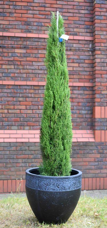 3ft Italian Cypress 10l Pot Cupressus Sempervirens Totem 52 99 Italian Cypress Trees Cupressus Sempervirens Italian Cypress