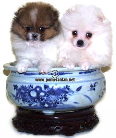 Pomeranianpuppies Pomeranian Pomeranianpuppy Pomeranian Puppy Pomeranian Puppies Pomeranian Puppy Cute Pomeranian Dog Friends