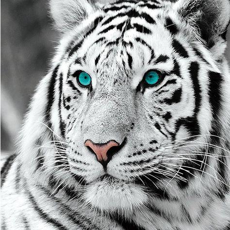 Tiger Illustration, Photo Tigre, Tiger Fotografie, The Animals, Wild Animals, Baby Animals, Teal Eyes, Tiger Wallpaper, Wallpaper Art