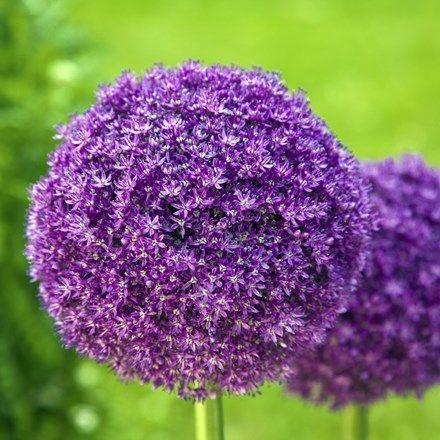 Allium Giganteum Giganteum Allium Giganteum Onion Bulbs