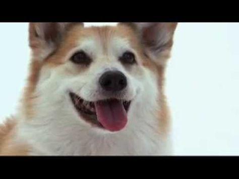 Dogs 101 Pembroke Welsh Corgi Video From Animal Planet Welsh