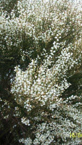 Cytisus X Praecox Albus White Broom Shrub Buy Online Uk Shrubs Plants Broom Plant