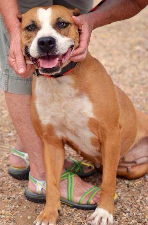 Adopt Cherry On Pitbulls Pitbull Terrier Dogs