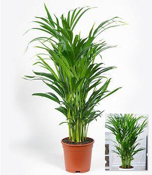Winterharte Kubel Palme 2er Set Chinesische Hanfpalme Gunstig Online Kaufen Mein Schoner Garten Shop Pflanzen Zimmerpflanze Palme Palmen Pflanzen