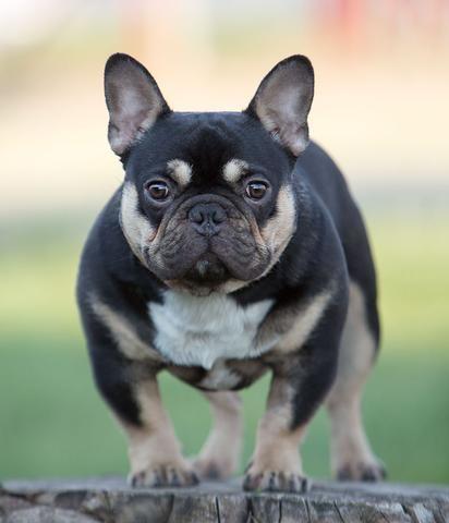 Rare French Bulldog Colors Bulldog Puppies French Bulldog