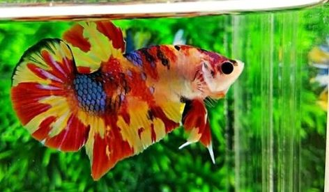 7 Gambar Cupang Nemo Candy Terbaik Ikan Cupang Ikan Ikan Eksotis