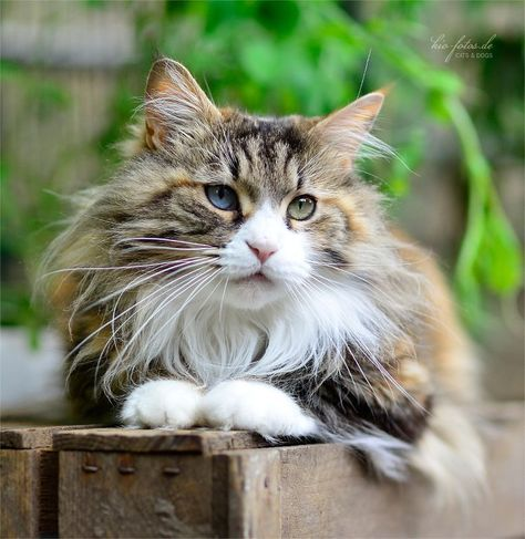 Maine coon or norwegian forest cat