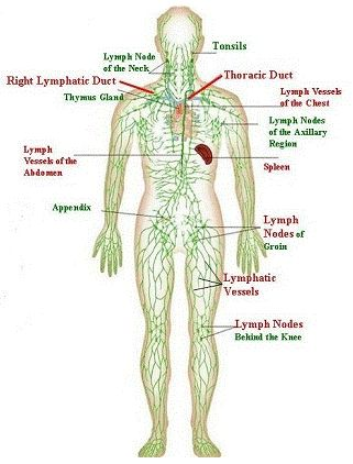 The basic building block of the entire immune system is the the basic building block of the entire immune system is the lymphatic system school help pinterest lymphatic system immune system and medical ccuart Image collections