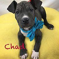 Toledo Oh Shar Pei Meet Chad A Dog For Adoption Pet