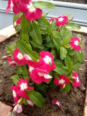 Catharanthus Roseus In 2020 Plants