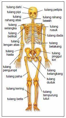 Gambar Rangka Manusia Beserta Keterangannya : gambar, rangka, manusia, beserta, keterangannya, KERANGKA, MANUSIA, BESERTA, PENJELASANNYA, Gooekil-1, Badan, Manusia,, Anatomi, Manusia