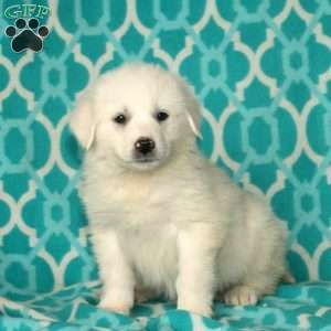 Great Pyrenees Mix Puppies For Sale Great Pyrenees Puppy