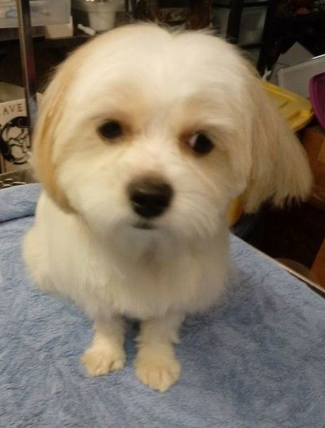 Shih Tzu And Maltese Mixed Dog For Adoption In Woodstock