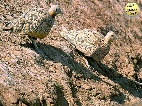 victoria milan flashback pheasant
