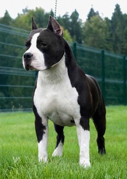 Pedigree Information About The American Staffordshire Terrier Don