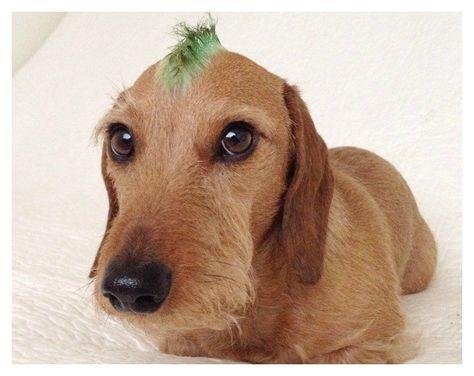 10 Penteados Diferentes Pra Cachorro - Whata Feed