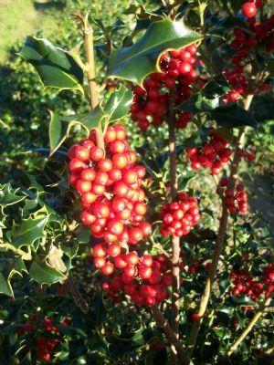 Ilex Aquifolium Alaska Arbusti Sempreverdi Arbusti Sempreverde