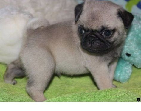 Learn More About Pugs For Adoption Near Me Follow The Link To