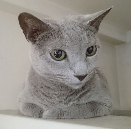 Russian Blue Cat Facts And Personality Traits Hill S Pet Russian Blue Russian Blue Cat Russian Blue Cat Personality