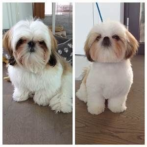 Shih Tzu Haircuts Before And After Goldenacresdogs Com Shihtzu
