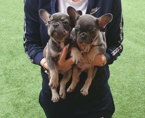 French Bulldog Puppies Kc Registered Bulldog Puppies French