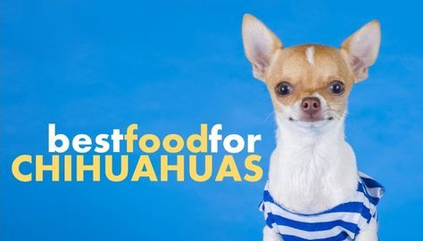 Chihuahuas Are Awesome Little Dogs They Re Little Fiery Balls Of