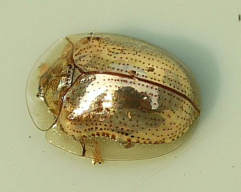 The golden tortoise beetle can completely change colour from metallic gold all the way to red with black spots (similar to a ladybug) - amazing!