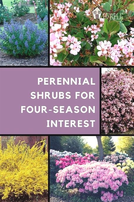 The Most Perfect Perennial Shrubs For Your Garden Perennial Shrubs Perennials Shrubs
