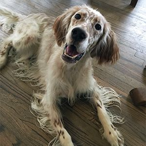 Adopt Jonni On Retriever Puppy Golden Retriever Dogs