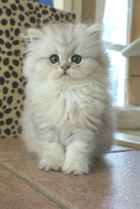 Epic 19 Persian Cat Images And Facts Meowlogy Com There Are
