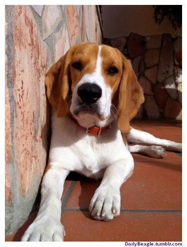 Check Out Our Web Site For Additional Info On Beagle Dogs It Is