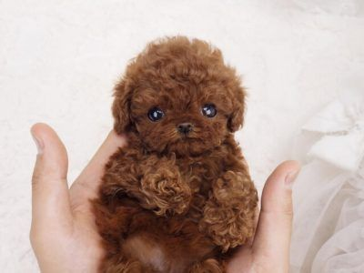 Philly Red Micro Teacup Poodle Cute Teacup Puppies Teacup