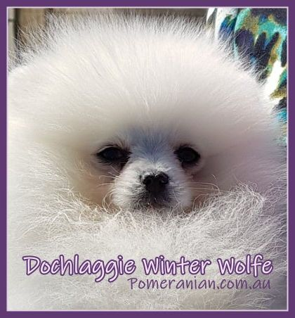 Dochlaggie Winter Wolfe With Images White Pomeranian Puppies