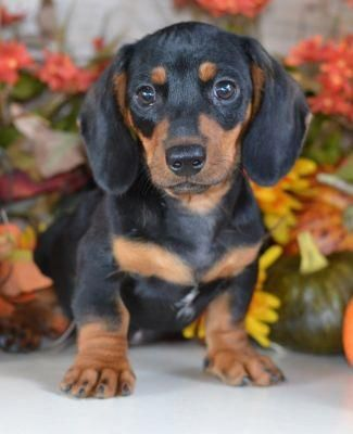 More About The Spunky Daschund Dogs Personality Daschund