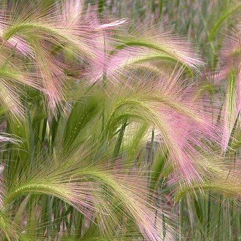 "Foxtail Barley (Hordeum jubatum) - zones 4-10, full sun to partial shade, moist to dry conditions. 20"" tall"