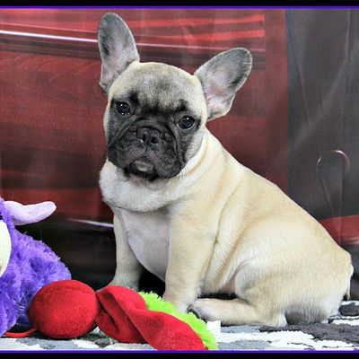 French Bulldog Puppies For Sale In Texas Frenchie Puppy French Bulldog Puppies Bulldog Puppies For Sale French Bulldog