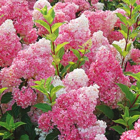 Unusual colors in the blooms of Vanilla Strawberry hydrangea distinguish this showy summer-flowering shrub.