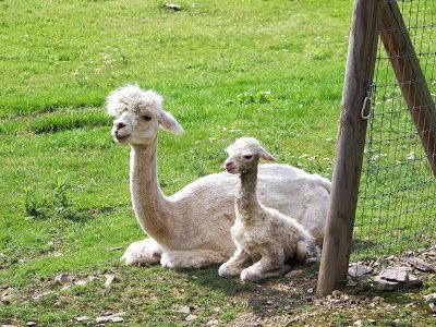 Alpacas Rock The Dollies Have Decided To Nickname Him Thor