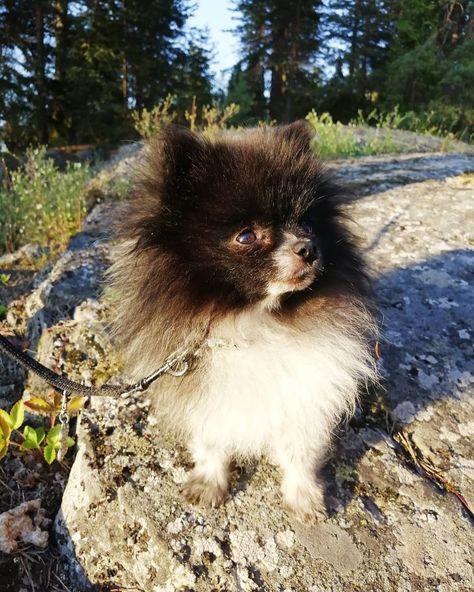 🌼Friday! 🌼 . . . . . . . . . #dog #puppy #pomeranian #pets #animals #cute #cutedogs #summer #summerlife #pomerianworld #posing #nature #naturephotography #blackandwhite #happy #smile #oscar #dogs #carefree_pet #sun #pom #pompom #friday #smalldogs #small #browneyes #camping #vacation #holiday #summervacation
