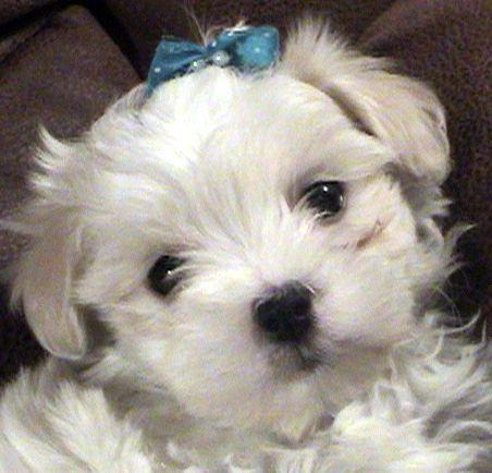 Maltipoo Puppy For Sale In Chesapeake Va Adn 56466 On Puppyfinder Com Gender Female Age 6 Wee Maltipoo Puppy Maltipoo Puppies For Sale Puppies And Kitties