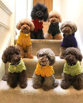 Follow Poodle Gallery To See The Worlds Best Poodles Dm Us To Be Featured Poodlegallery Poodledogs Poodlessofinstag Poodle Dog Poodle Puppy Puppies