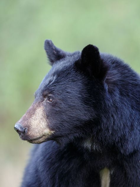 Beautiful black bear in the Great Smoky Mountains #bears Beautiful black bear in the Great Smoky Mountains