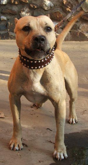 Honeybunch Pitbull Kennels : honeybunch, pitbull, kennels, Ideas, American, Pitbull, Terrier,, Games,, Terrier