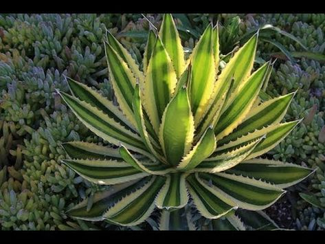 succulents cacti 10 seeds of agave kerchovei succulents seed R