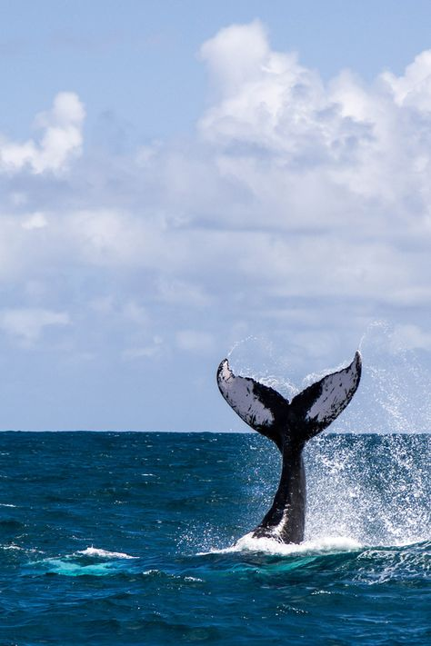 Tail slapping behavior of a humpback whale