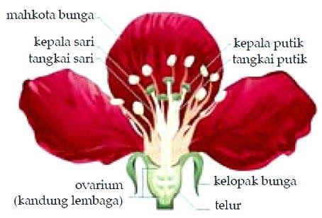Gambar Struktur Bunga Bougenville Gambar Struktur Bunga Harian Nusantara Doc Laporan Hasil Pengamatan Pada Bunga Dea Qurrota Dek Gambar Bunga Gambar Bunga